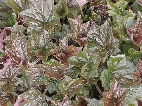 Heuchera (Coral Bells) - Purple Palace