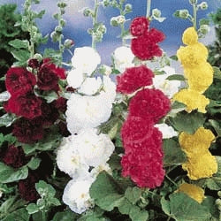 Hollyhock - Chaters Double