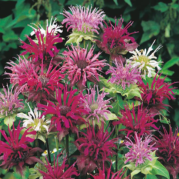 Monarda - Panorama Mixed