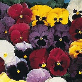 Pansy - Swiss Giant Mix