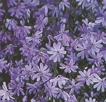 Phlox, Creeping - Blue Emerald