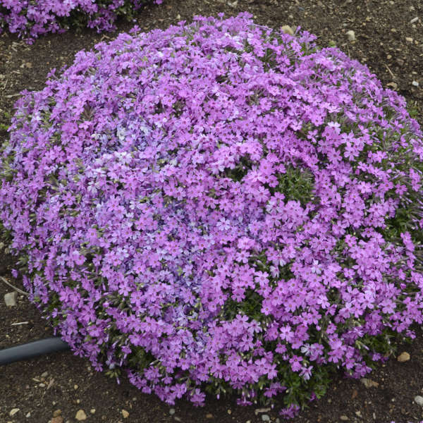 Phlox, Creeping - Rock Road Pink