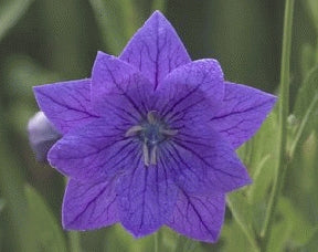 Platycodon (Balloon Flower) - Double Blue