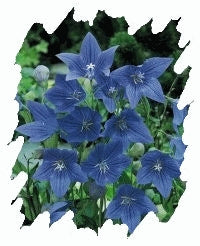 Platycodon (Balloon Flower) - Sentimental Blue