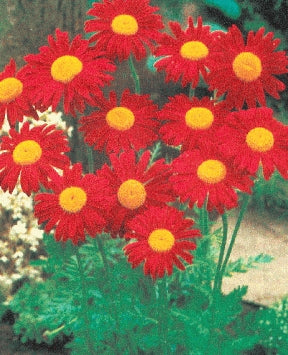 Pyrethrum (Painted Daisy) - Kelaway Red