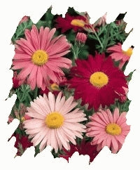 Pyrethrum (Painted Daisy) - Mixed
