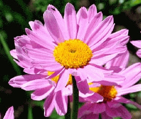 Pyrethrum (Painted Daisy) - Rose
