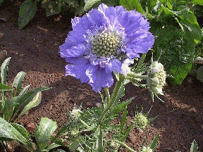 Scabiosa - Clear Blue
