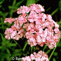 Sweet William - Newport Pink