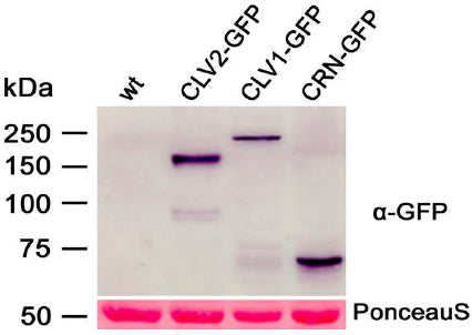 Western-blot analysis of protein extracts from N. benthamiana leaf cells