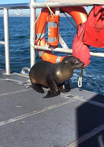Young sea lion saved by jumping onboard US Coast Guard boat
