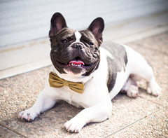 Gold Bow Tie attached to black leather collar, Chic Dog Bow tie, Wedding Dog Collar, 2Gold Wedding idea, Pet Wedding Accessories - LA Dog Store  - 1