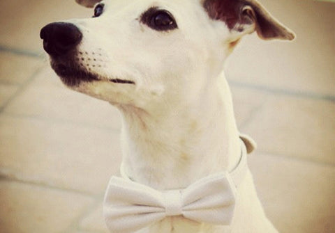 White Dog Bow Tie with collar, White wedding, dog accessory