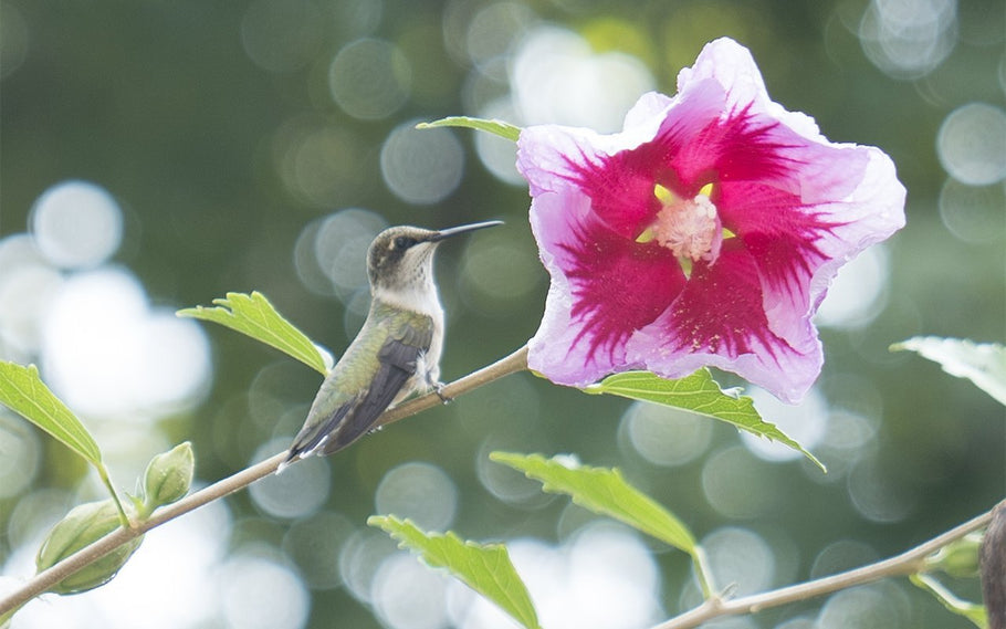 Is Rose of Sharon (Hibiscus) Beneficial for Pollinators?