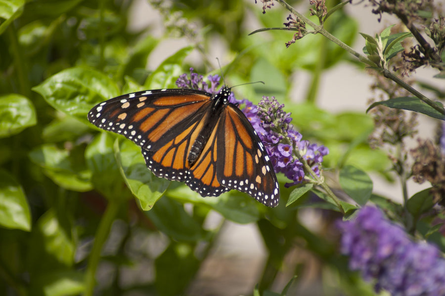 Which butterfly bushes are not invasive?
