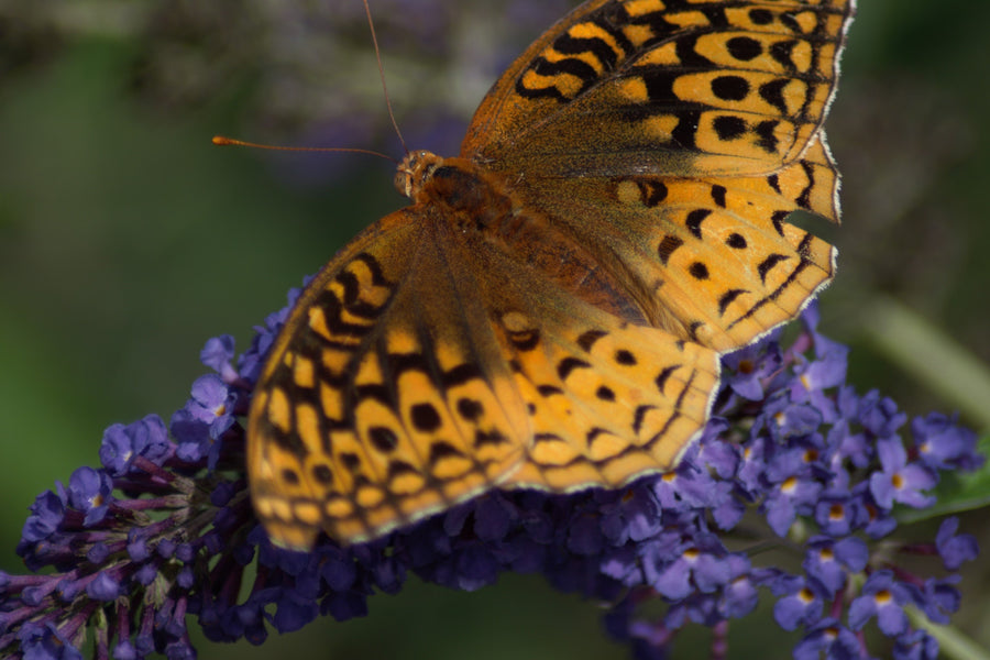 Are butterfly bushes bad for butterflies?