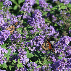 Lo and Behold Blue Chip butterfly bush in bloom and covered with monarch butterflies.