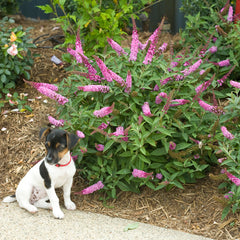 Lo & Behold Pink Micro Chip butterfly bush next to a Jack Russell terrier puppy for scale.