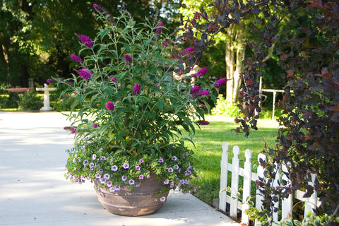 'Miss Ruby' Buddleia in a container.