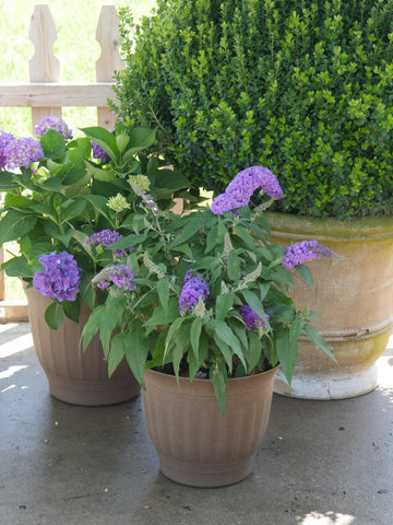 Pugster Amethyst Buddleia in a container