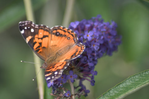 Butterfly on a butterfly bush flower