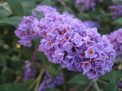 Lo and behold blue chip butterfly bush flower
