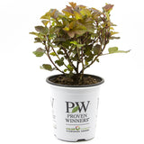 Proven Winners Shrubs at butterflybushes dot com