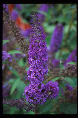 The spiky purple blooms of Nanho Purple butterfly bush