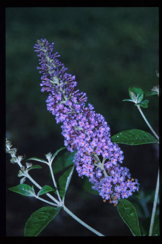 Buddleia Nanho Blue is a classic butterfly bush with powder blue flowers