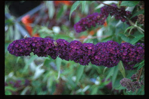 The long purple-black flower spikes of Black Knight butterfly bush