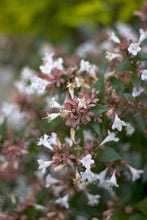 Load image into Gallery viewer, A closeup of the white, trumpet shaped flowers of Ruby Anniversary abelia.