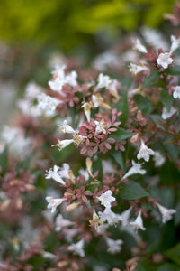 A closeup of the white, trumpet shaped flowers of Ruby Anniversary abelia.
