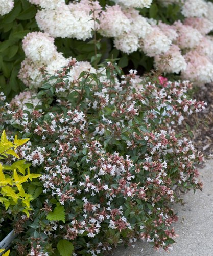 Ruby Anniversary abelia covered in white flowers in a landscape.