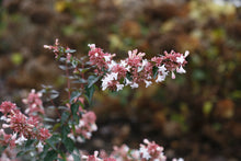 Load image into Gallery viewer, A closeup of the white flowers and pink bracts of Ruby Anniversary abelia.