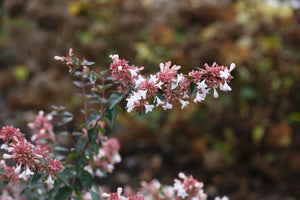 A closeup of the white flowers and pink bracts of Ruby Anniversary abelia.