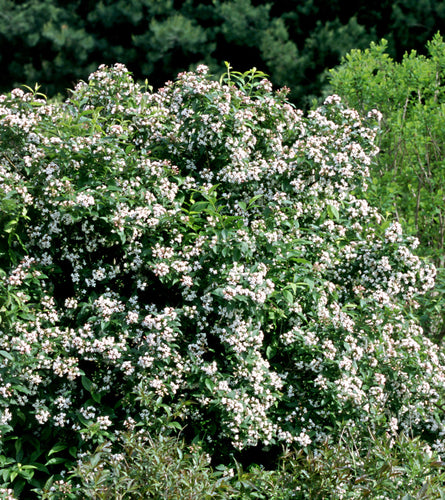 Abelia Sweet Emotion blooms in spring with the most amazing jasmine fragrance.