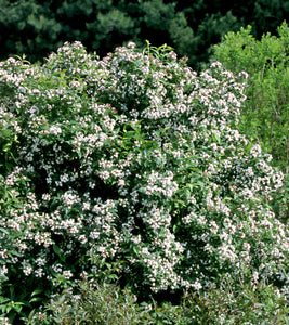 Abelia Sweet Emotion®