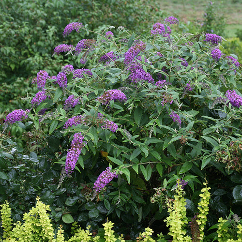 Buddleia Lo & Behold Purple Haze has purple blooms in summer