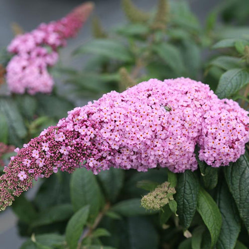 Buddleia Pugster Pinker replaces the original Pugster Pink with bigger blooms
