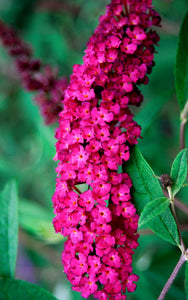 The full, pink-red blooms of award winning Royal Red butterfly bush