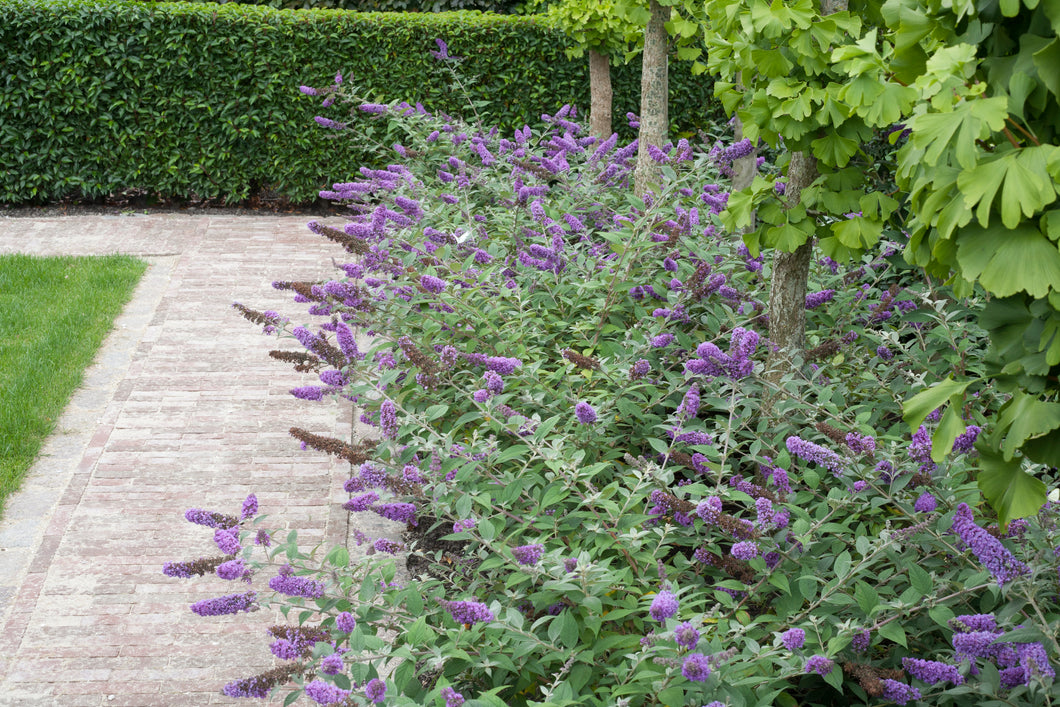 Lo and behold blue chip butterfly bush landscape idea