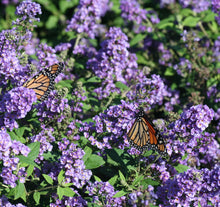 Load image into Gallery viewer, Monarch butterflies feed on the blue flower spikes of blue chip buddleia