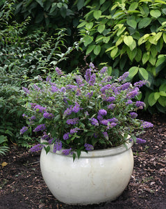 Lo and Behold Blue Chip butterfly bush blooms in a glossy white ceramic pot