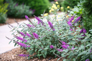 The dwarf habit and silvery foliage of Lo and Behold Blue Chip Junior buddleia
