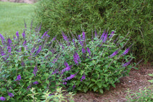 Load image into Gallery viewer, Three Lo and Behold Blue Chip Junior buddleia blooming in a landscape with an arborvitae