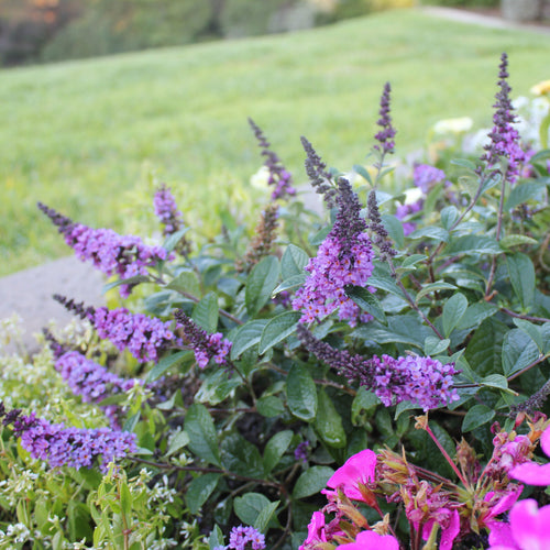 Lo and Behold Blue Chip Junior butterfly bush surrounded by pink flowers in a garden