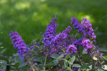 Load image into Gallery viewer, Close up of the blue-purple flowers of Lo and Behold Blue Chip Junior butterfly bush