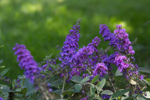 Close up of the blue-purple flowers of Lo and Behold Blue Chip Junior butterfly bush
