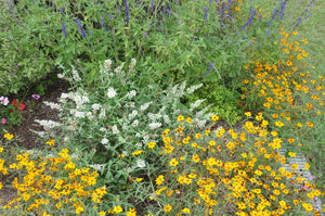 Lo & Behold Ice Chip butterfly bush surrounded by yellow flowers