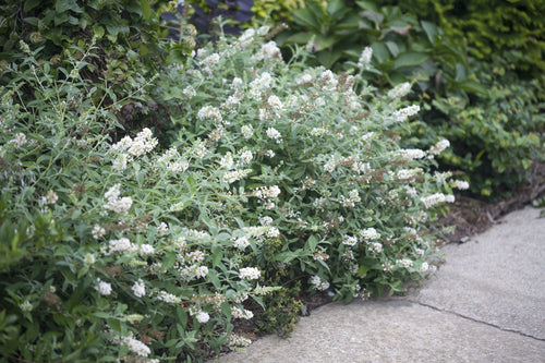 Two Ice Chip butterfly bushes blooming along a sidewalk